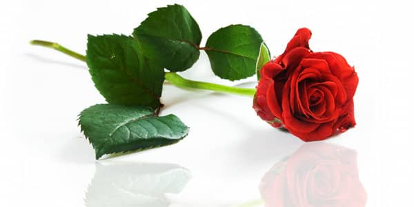 Ewige Rose Valentinstag Geschenkidee