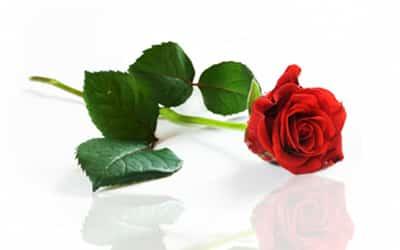 Echte Rose für die Ewigkeit (hier klicken)